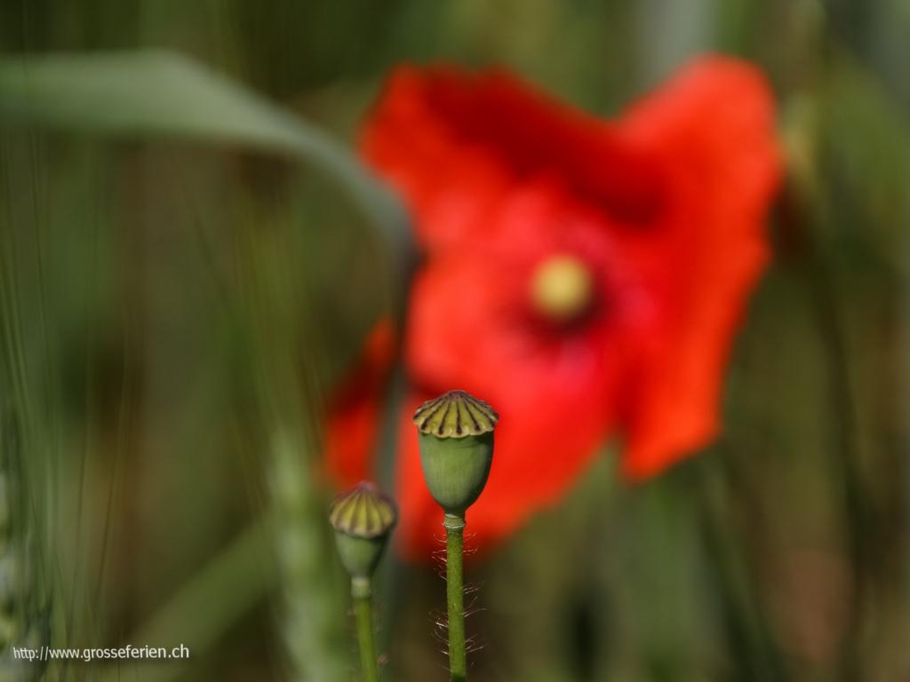 Austria, Kogl, Flower