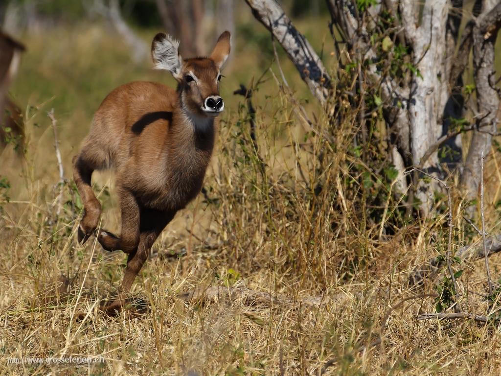 Botswana, Chobe National Park, Antilope
