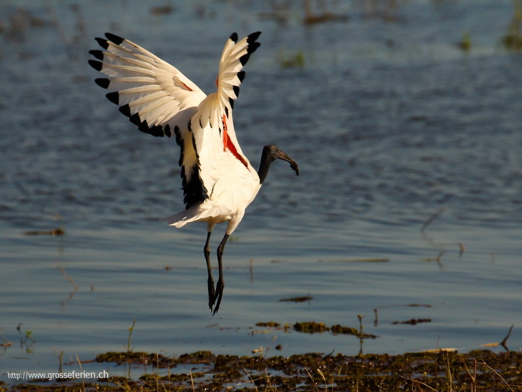 Botswana, Chobe National Park, Bird (flying)