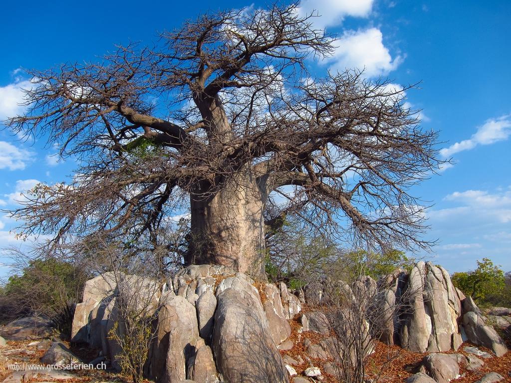 Botswana, Kubu Island, Tree