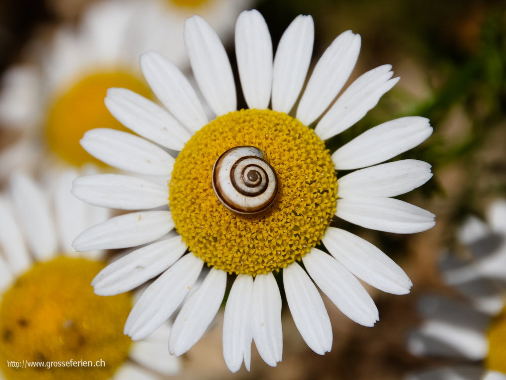 Croatia, Rovinj, Flower