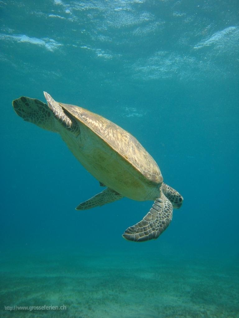 Egypt, Marsa Alam, Turtle