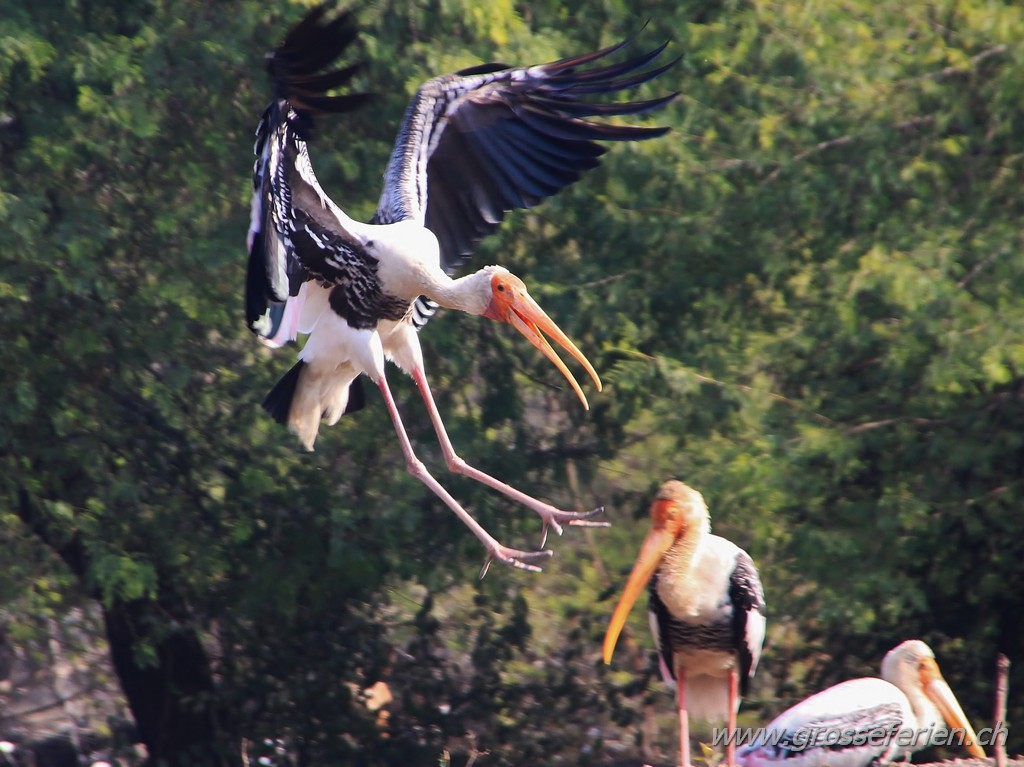 India, Kaladeo National Park, Stork