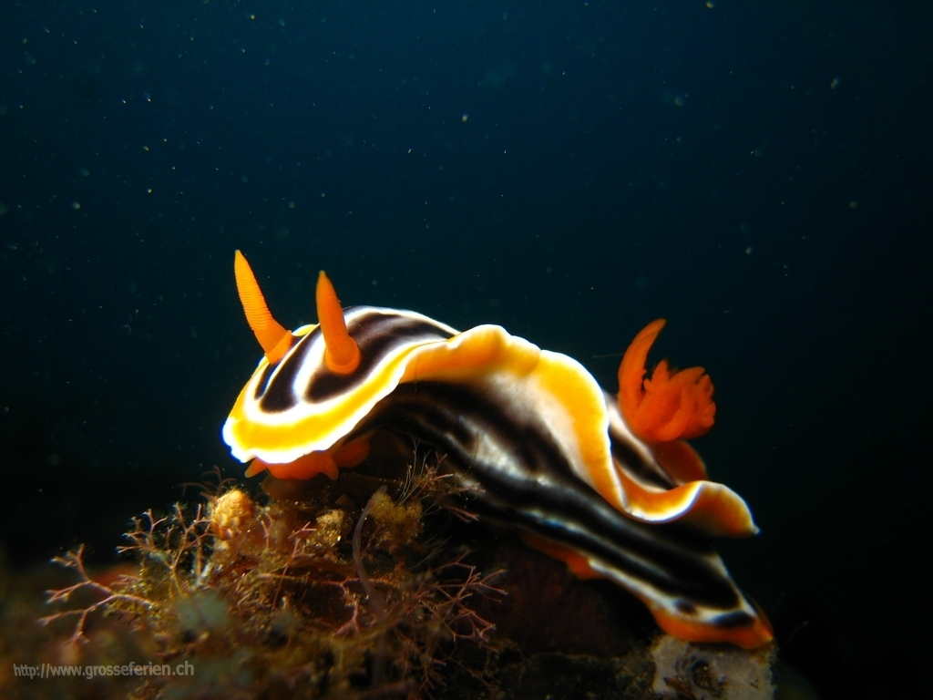 Indonesia, Bunaken, Nudi Branch