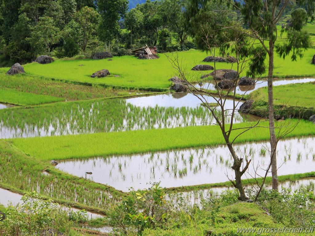 Indonesia, Sulawesi, Rantepao, Rice Paddies
