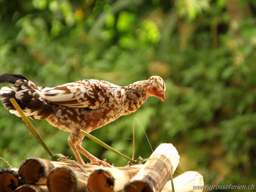 Indonesia, Sulawesi, Village, Chicken