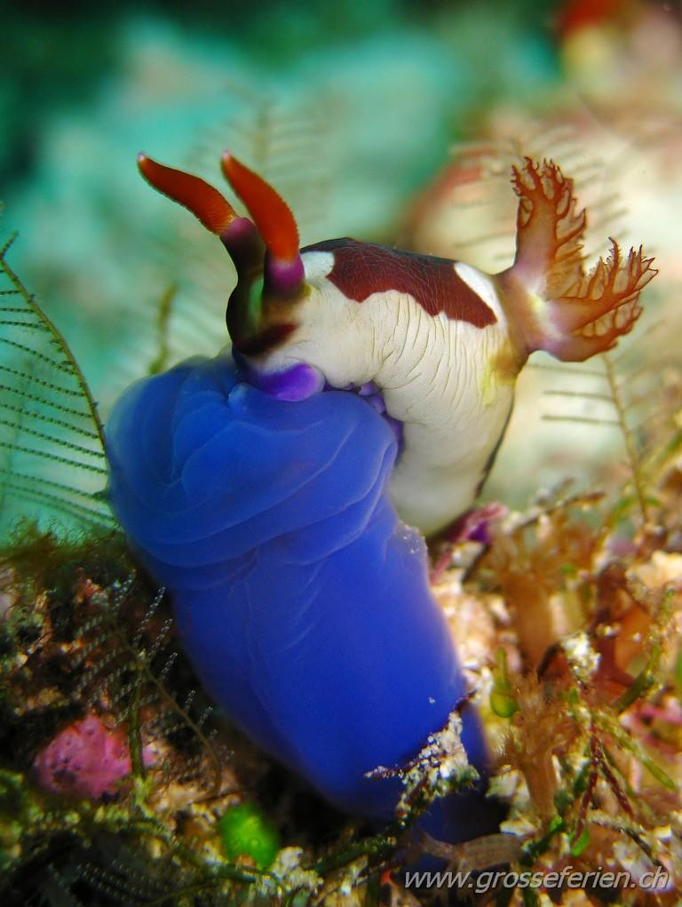 Indonesia, West Papua, Raja Ampat, Nudibranch
