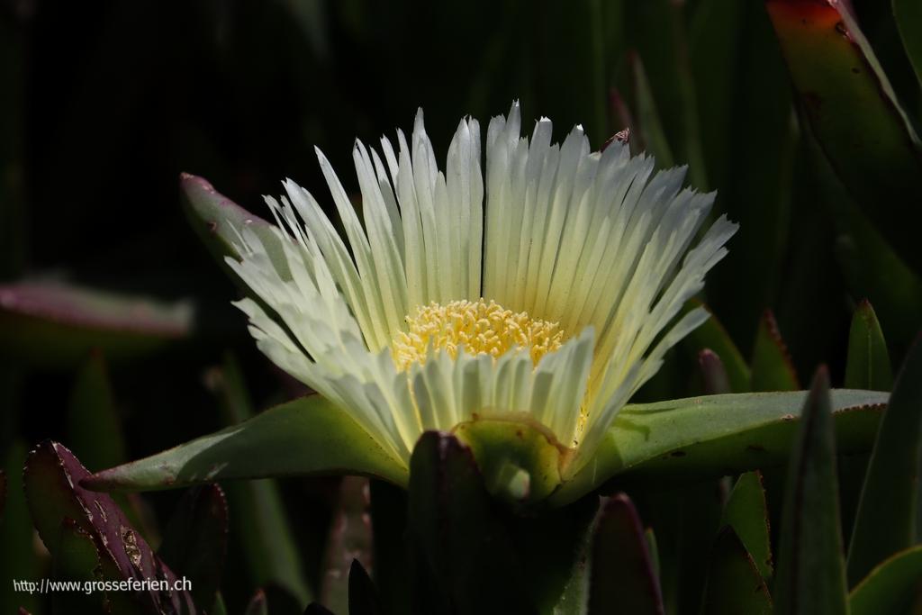 Israel, Caesarea, Flower