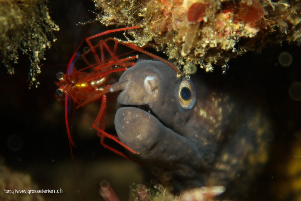 Italy, Elba, Morcone, Moray Eel and Crab