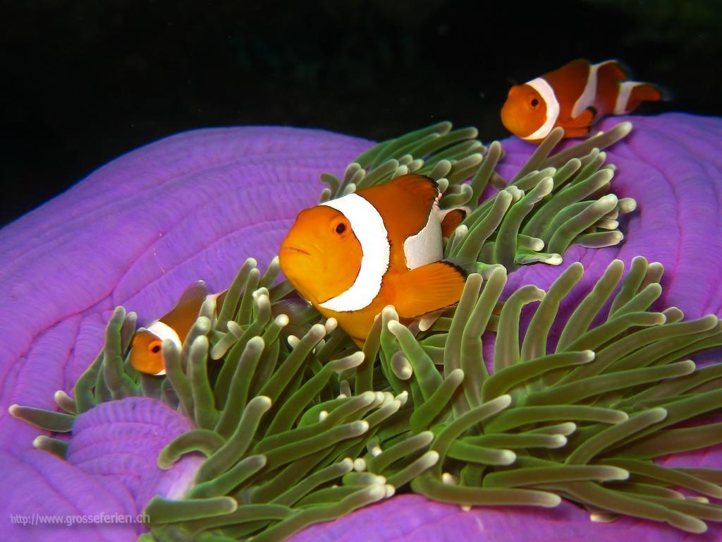 Malaysia, Lankayan, Nemo