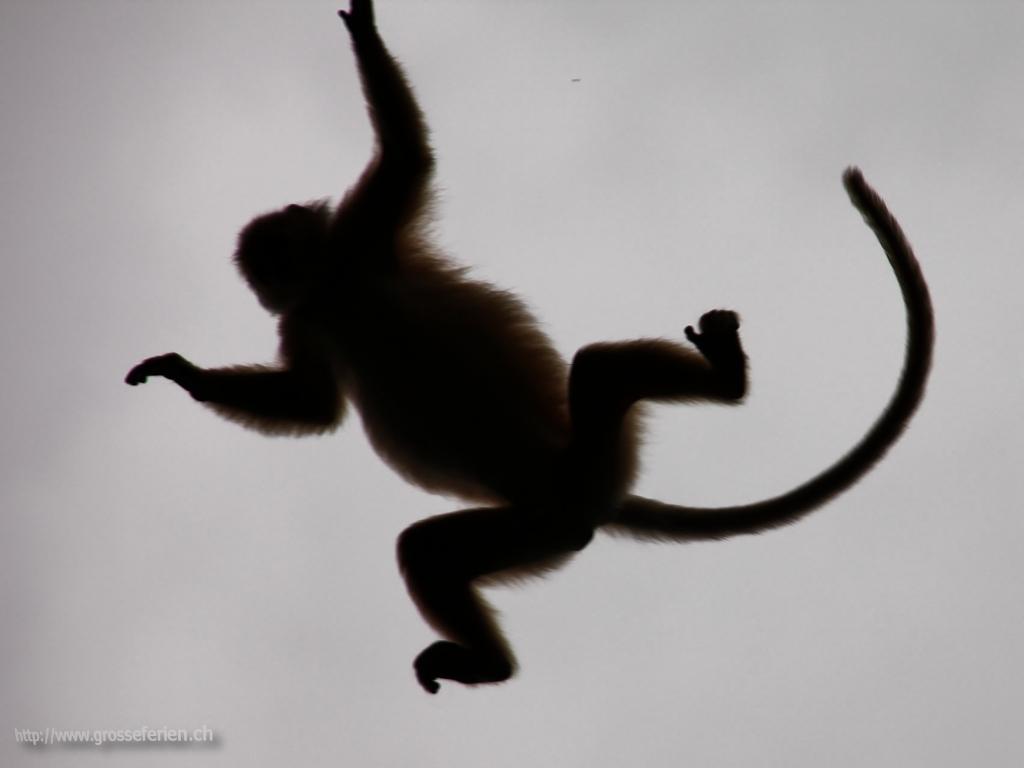 Malaysia, Sakau, Monkey