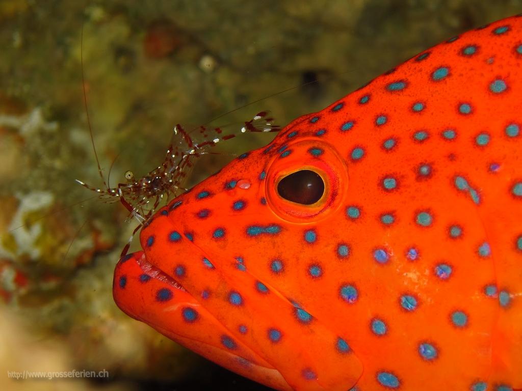 Maldives, Nautilus, Fish red