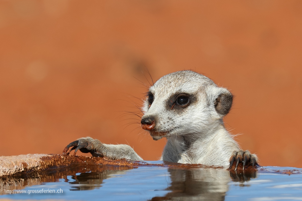 Namibia, Bagatelle, Meerkat