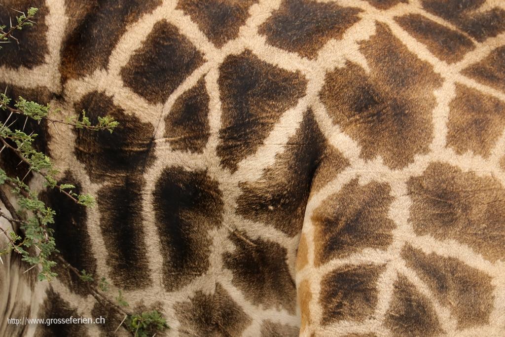 Namibia, Erindi, Giraffe