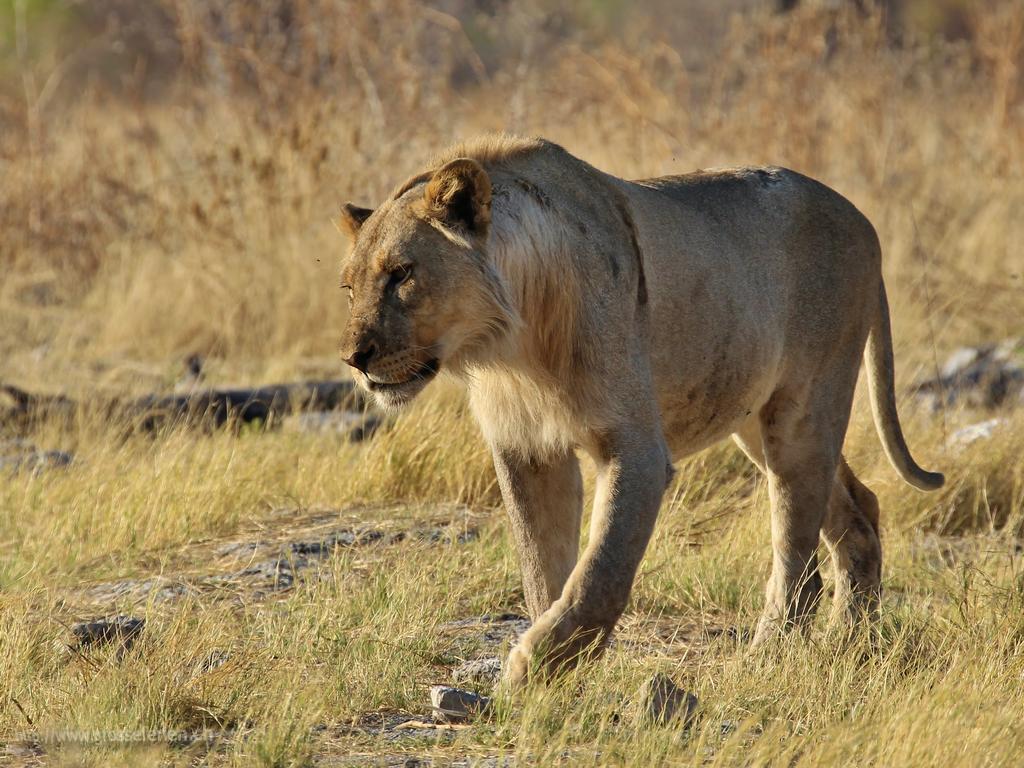 Namibia, Ethosha, Lion