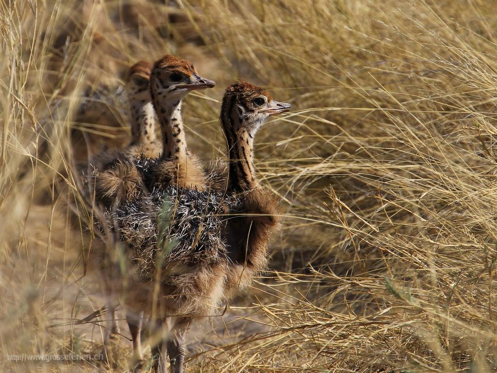 Namibia, Ethosha, Ostrich