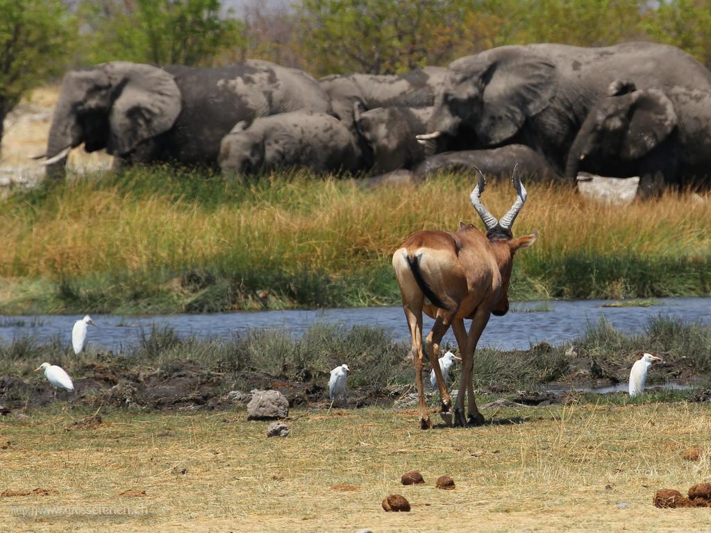 Namibia, Ethosha, Springbock