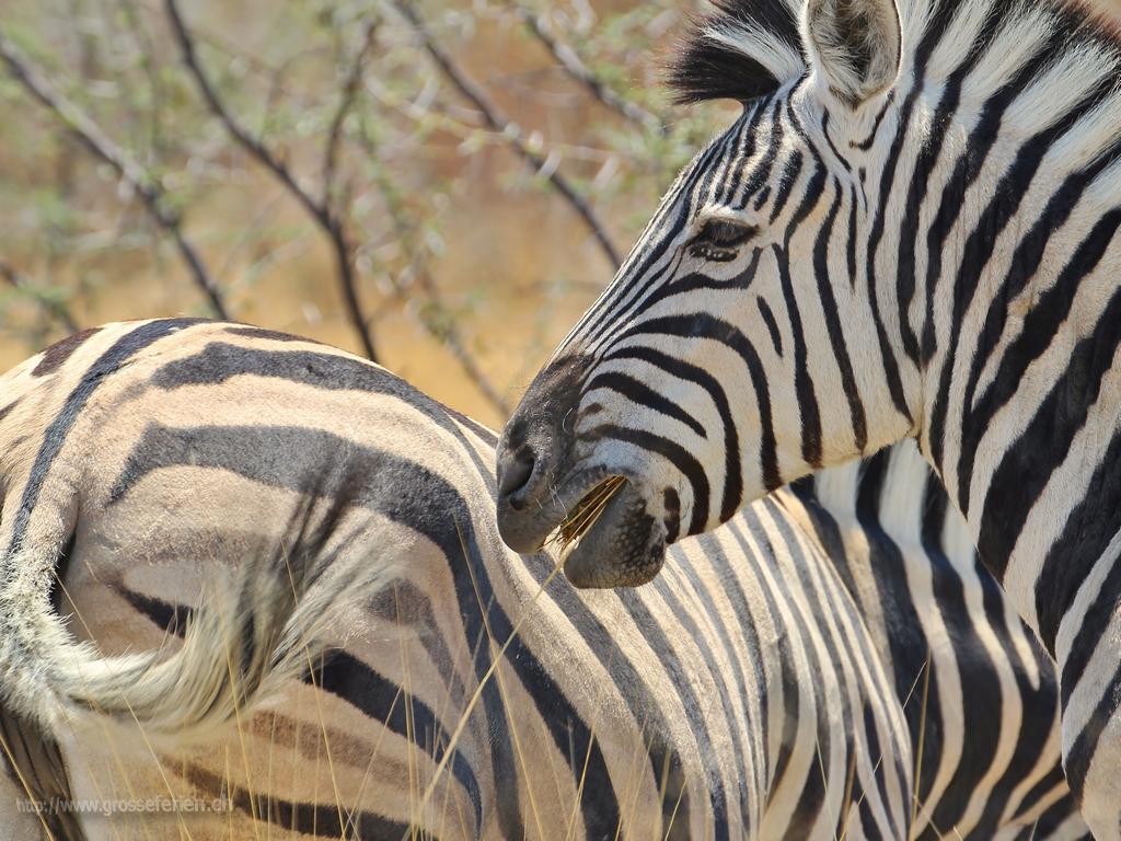 Namibia, Ethosha, Zebra