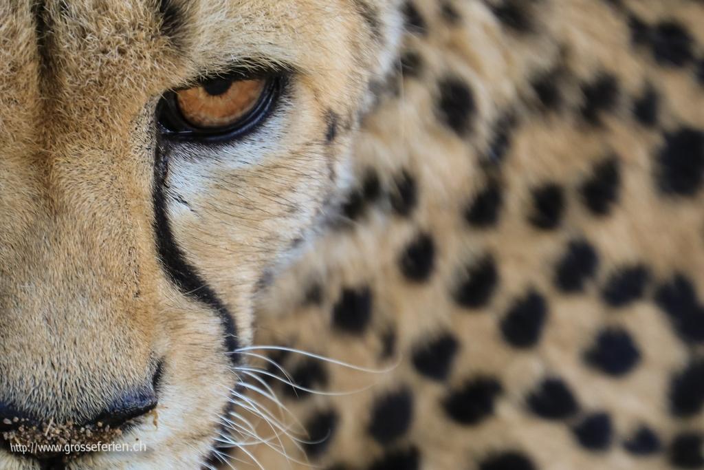 Namibia, Keetmanshoop, Cheeta