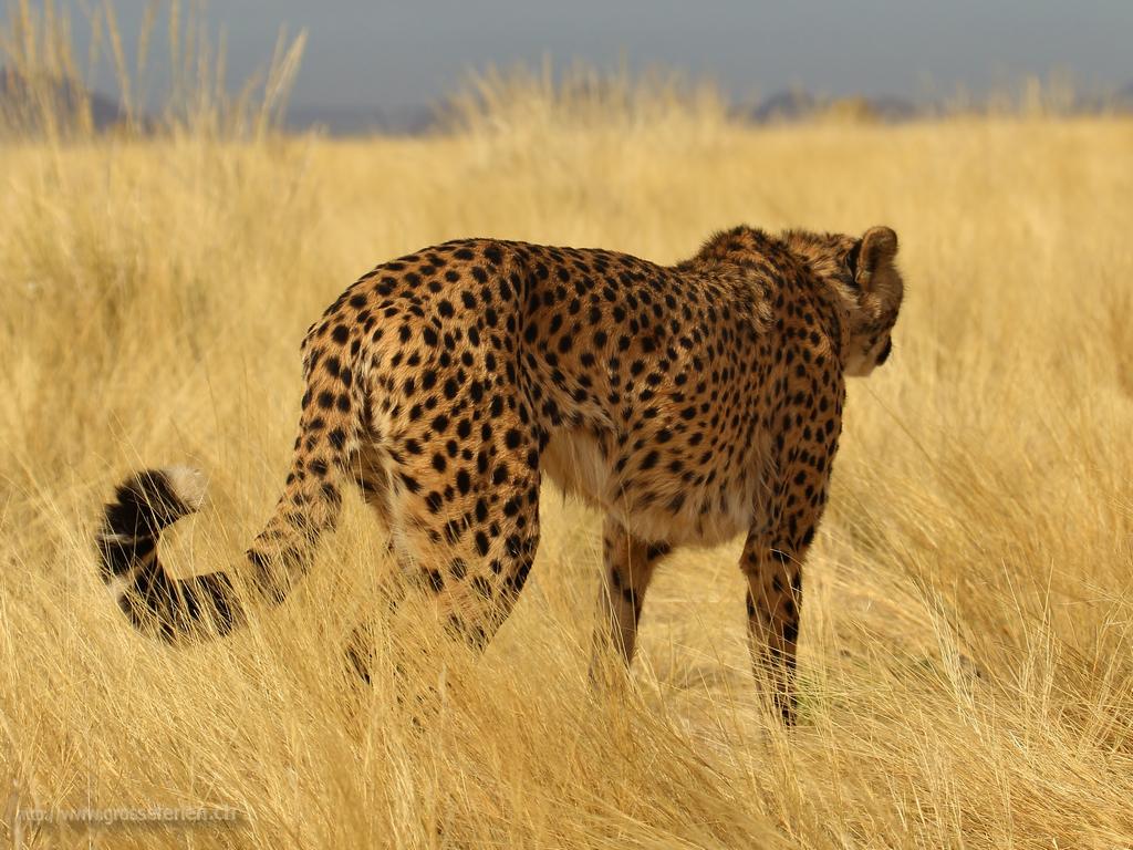 Namibia, Solitaire, Cheetah