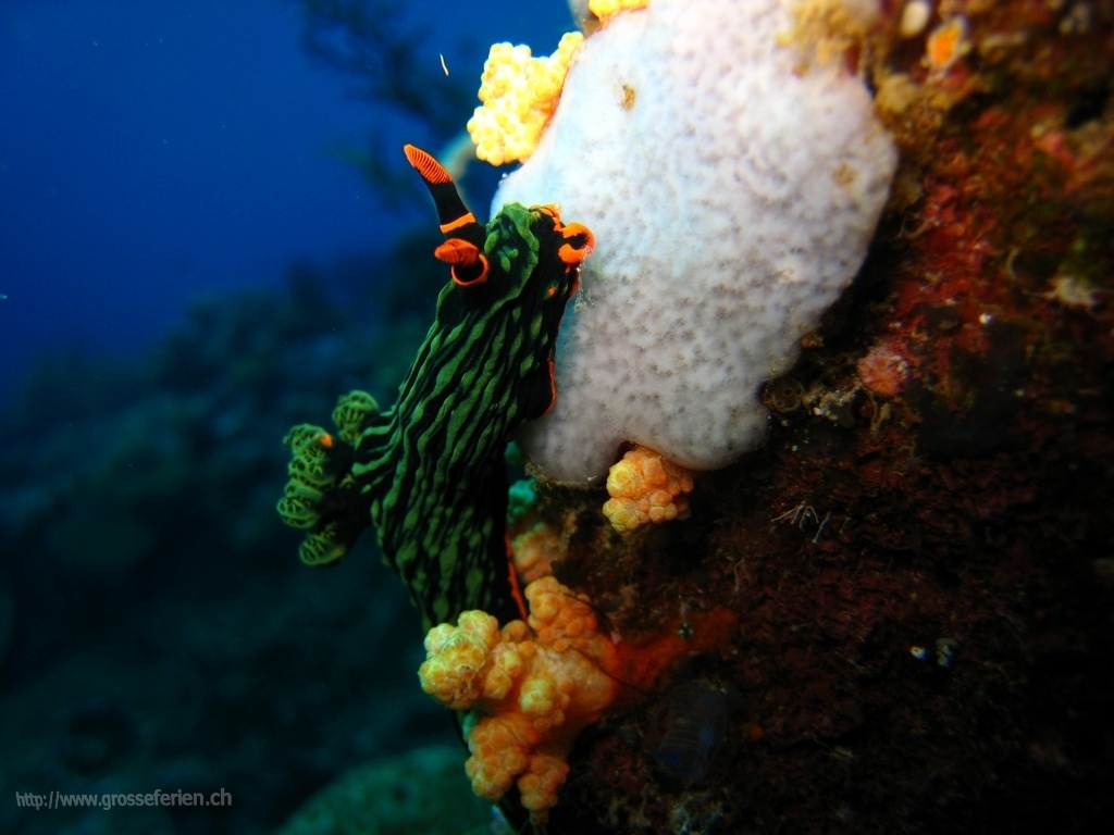 Phillippines, Apo Island, Nudibrach