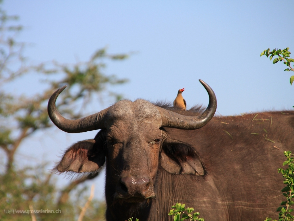 South Africa, Imfolozi National Park, Buffalo