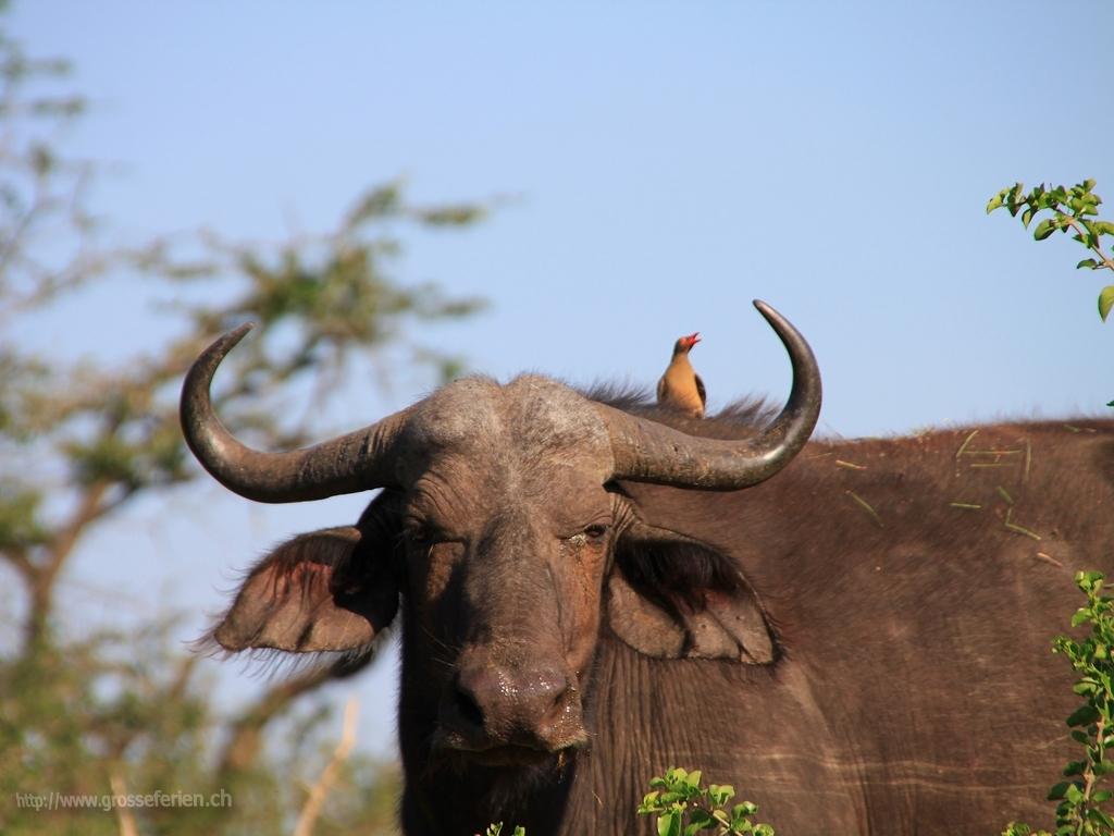 South Africa, Imfolozi National Park, Buffalo
