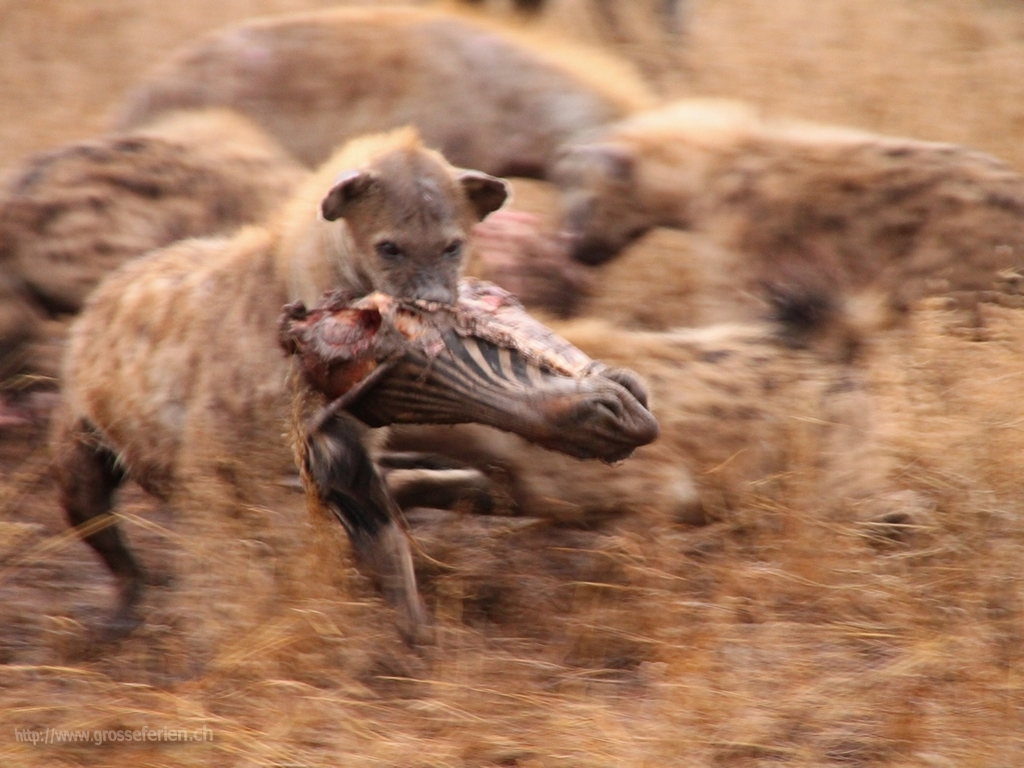 South Africa, Kruger National Park, Hyena
