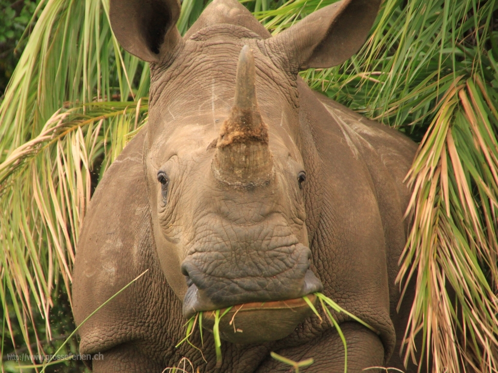 South Africa, St Lucia National Park, Rhino