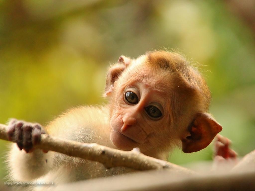 Sri Lanka, Polonnaruwa, Monkey