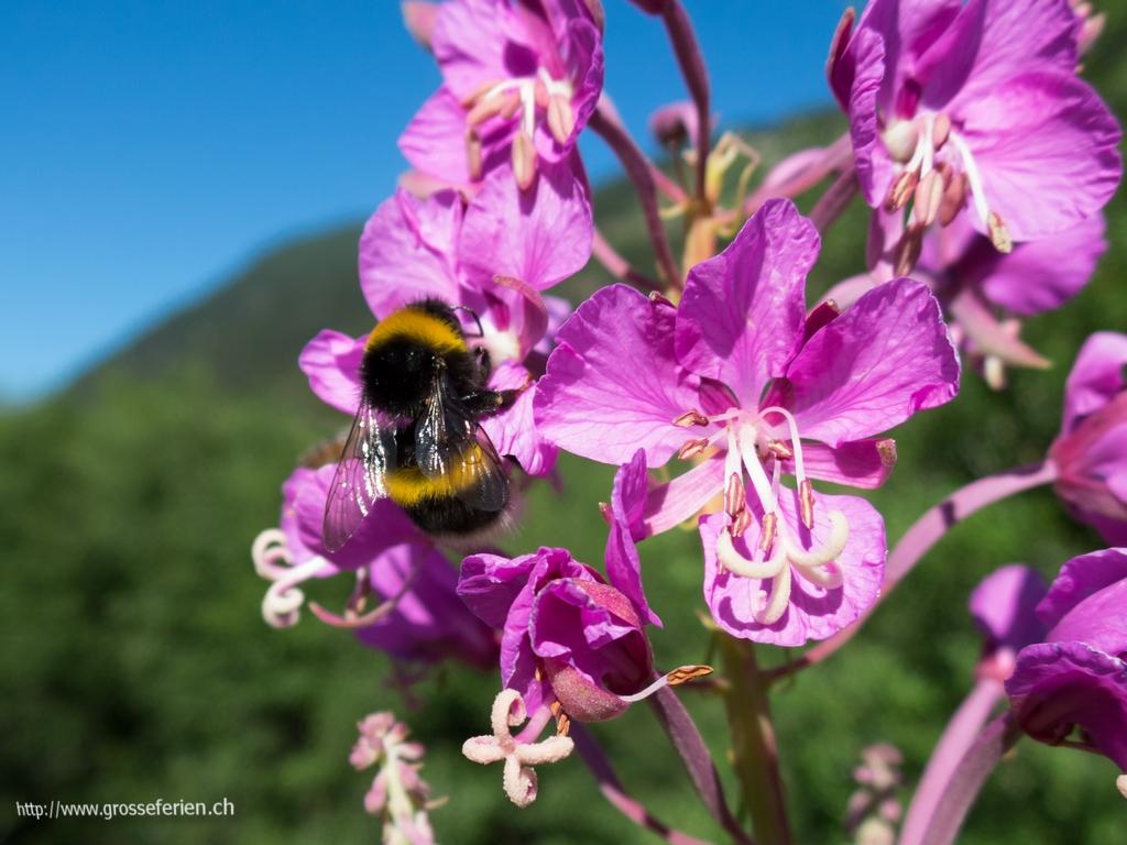 Switzerland, Muestair, Bee