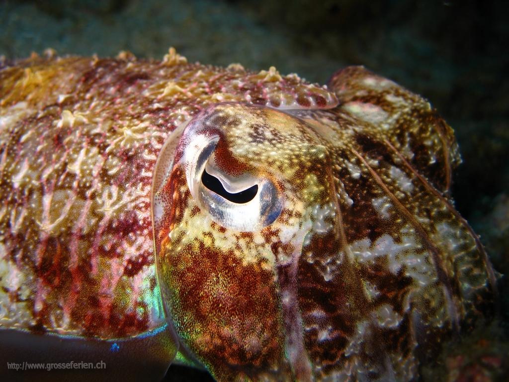 Thailand, Koh Surin, Squid